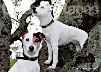 Jack Russell Terrier: Kutyafajta profil